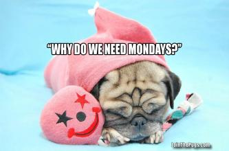 no-mondays-pug-in-a-rug-2