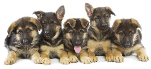 german-shepherd-puppy-brothers